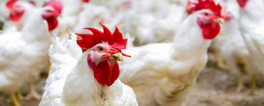 Retailer's Campylobacter test results in maximum FSA category